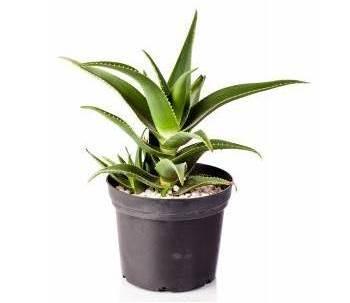 aloe-vera-plant-1