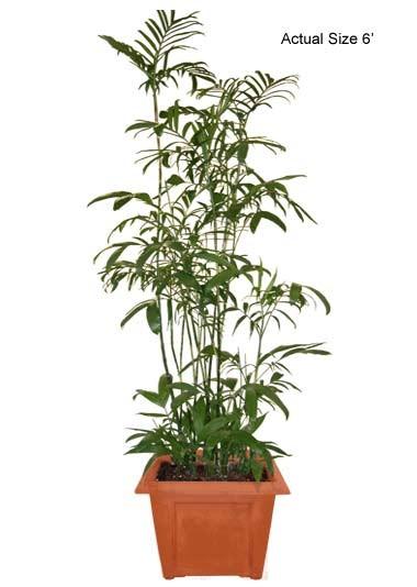 bamboo-palm-tree-chamaedorea-seifrizii-20-01-b-realpalmtrees.com
