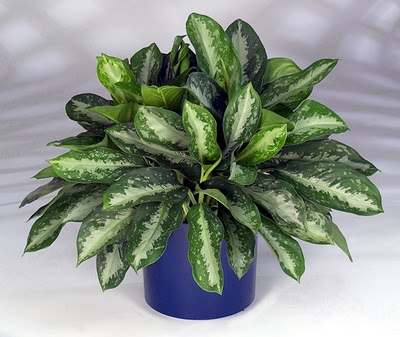 Chinese-evergreen-Aglaonema-crispum-Deborah