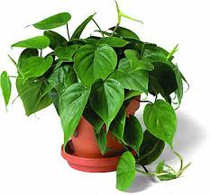 Heart Leaf Philodendron (Philodendron oxycardium