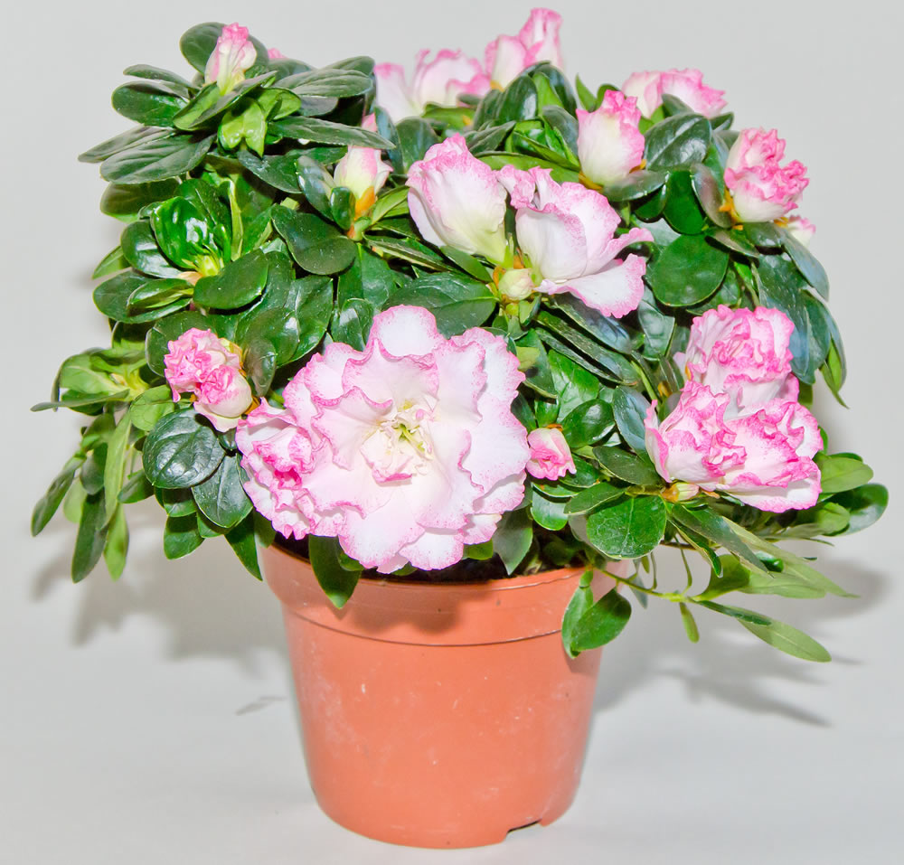 Rhododendron-simsii-2